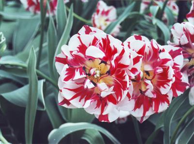 Tulip Keukenhof Garden Amsterdam @lemonicks.com