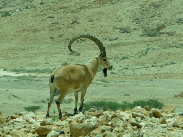 wildlife israel lemonicks.com