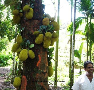 Goa experience spice farms