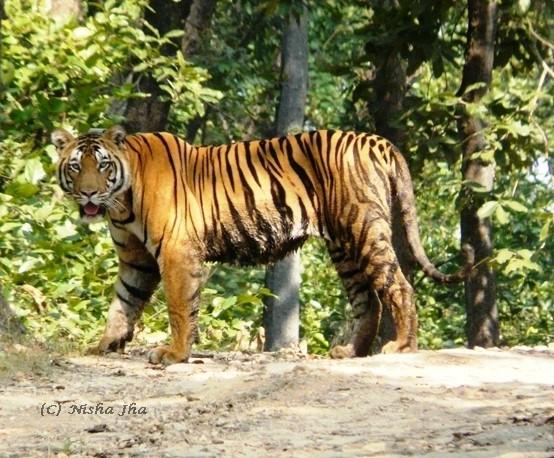Tiger in kanha @lemonicks.com