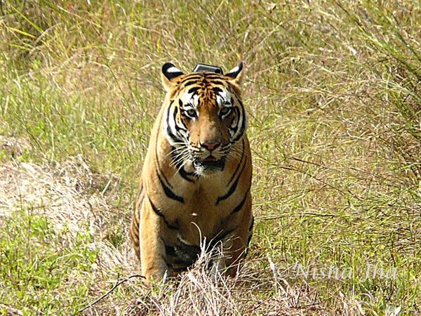tiger in kanha wildlife @lemonicks.com