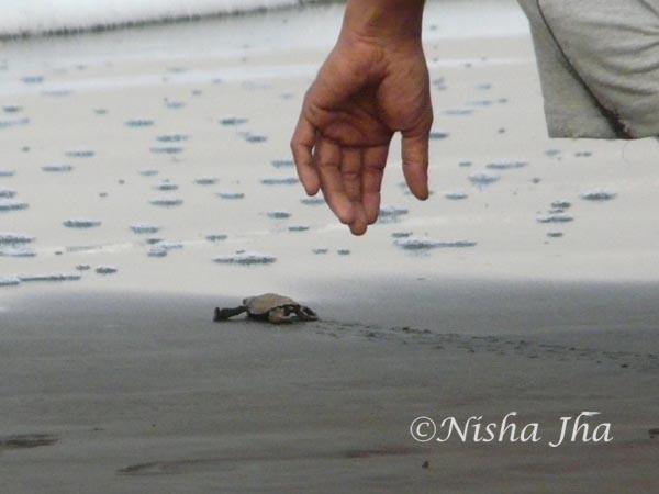 Olive ridley turtle conservation @lemonicks.com