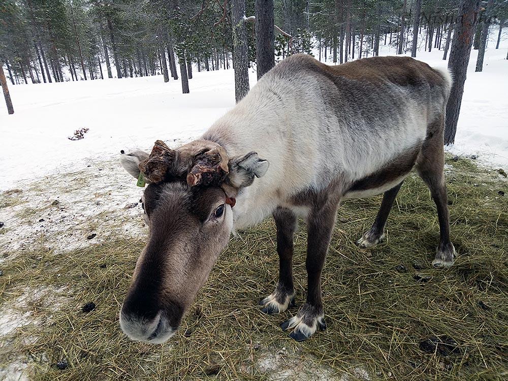 laplands culture reindeer sami