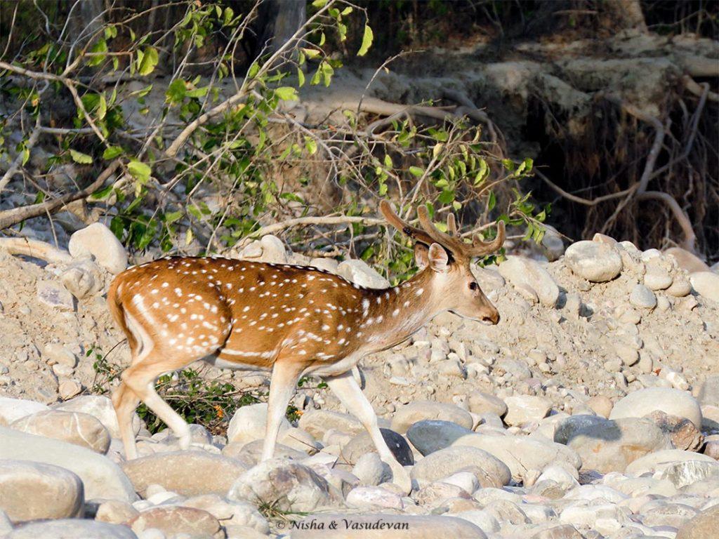 spotted deer, Lebua Corbett, one of the luxurious Jim Corbett resorts, Uttarakhand