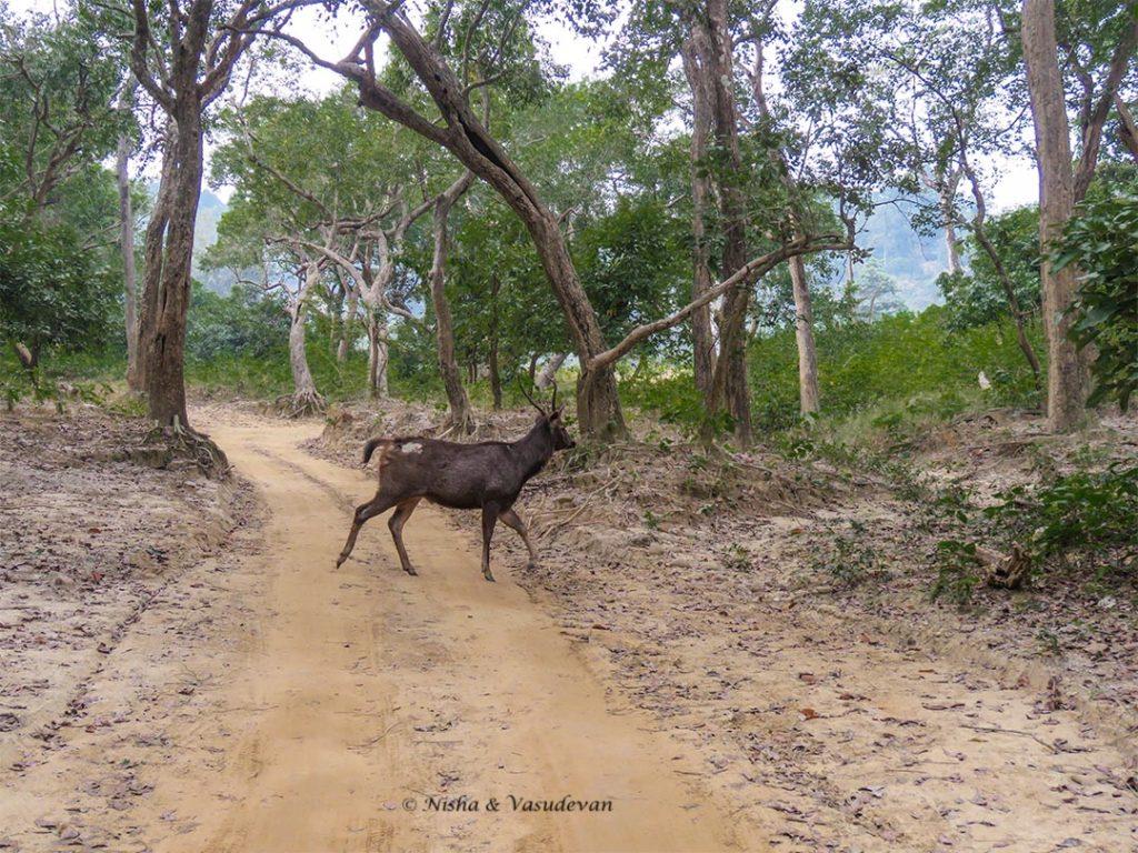 Sambar Deer, Lebua Corbett, one of the luxurious Jim Corbett resorts, Uttarakhand