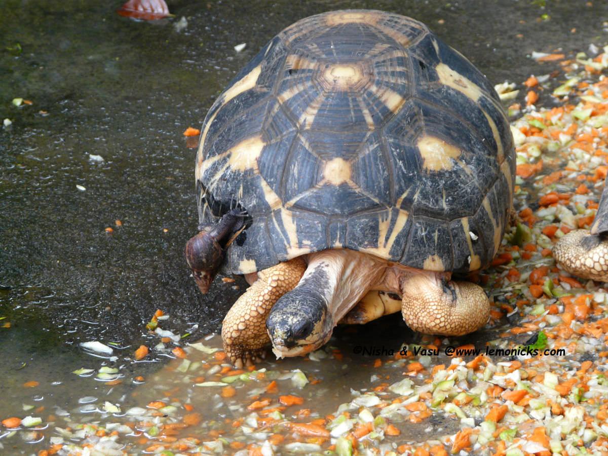 star tortoise @www.lemonicks.com